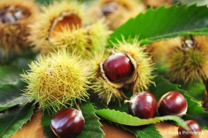 Esskastanie Frucht